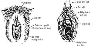 Âm hộ - Bộ phận sinh dục nữ